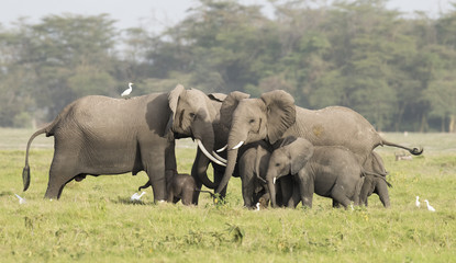 elephants protecting new born calf.