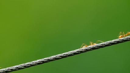 weaver ants are quickly walking on the metal wire