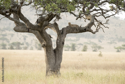 Tuinposter Bestsellers Tanzania Serengeti National Park leopard