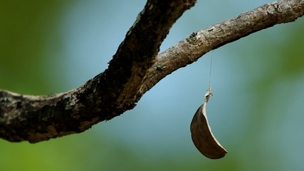 a dry leaf is hanged under the twig and spin with wind