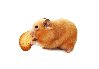 Hamster biting biscuit.