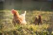 Hen in a farmyard (Gallus gallus domesticus)