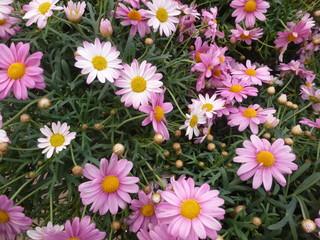 pink garden plant