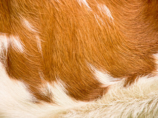 cow fur background (32)