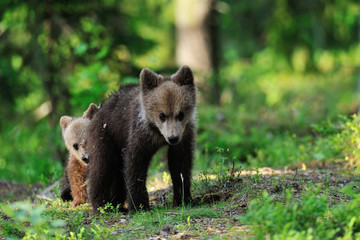 Brown bear cubs playing in forest