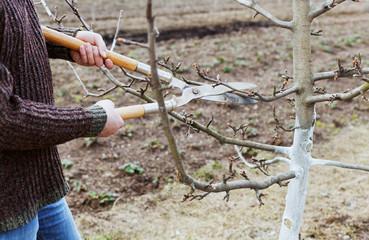 man farmer cuts with pruning shears fruit trees in garden