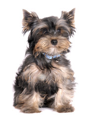 Yorkshire Terrier small dog