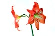 Beautiful bloom of red amaryllis flower