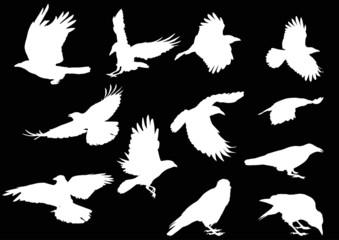 set of twelve crow silhouettes isolated on black