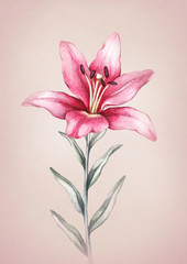 Watercolor lily flower