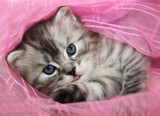 cute fluffy kitten - 81153606