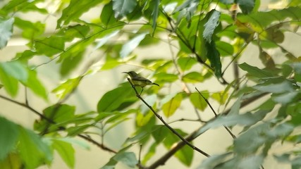 a little sunbird is staying on the tip of twig