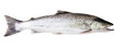 Sea trout fish isolated on white background - 81155037
