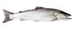 Leinwandbild Motiv Sea trout fish isolated on white background