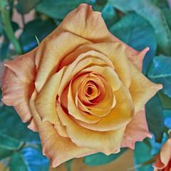 orange rose closeup in the garden