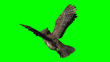Owl in fly - seperated on green screen