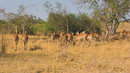 Herd of impalas in savanna