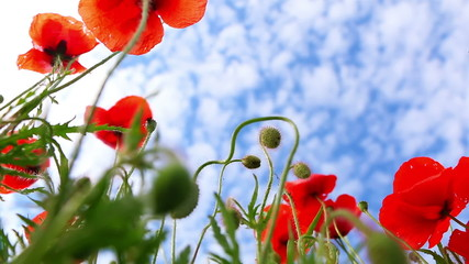 Red Poppies on Background with Blue Sky