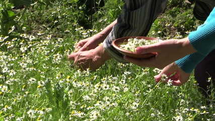 young and old hands pick camomile flower blooms in wicker dish