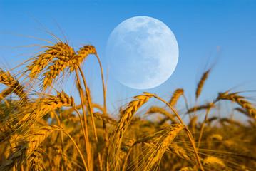 early morning  wheat field scene