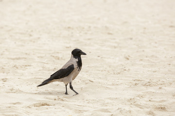 Hooded crow standing on a sand