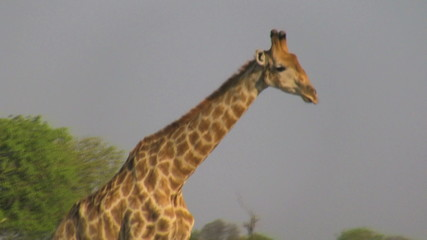 Walking giraffe profile
