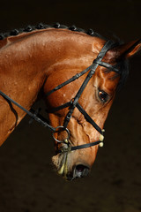 Portrait of beautiful bay dressage horse