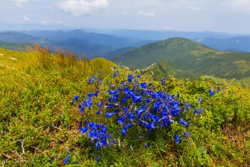 blue mountain flowers