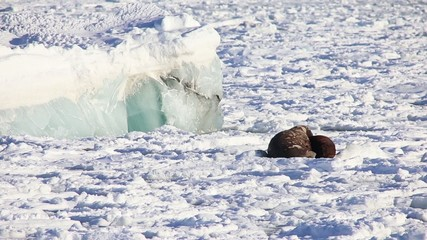 Couple of walruses on the Arctic ice - Spitsbergen, Svalbard