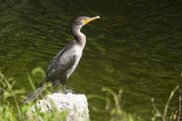 Double-crested Cormorant Standing on a Rock by a Riverbank