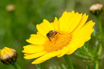 Eristalinus taeniops on yellow daisy