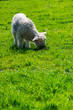 baby lamb on green grass outdoor