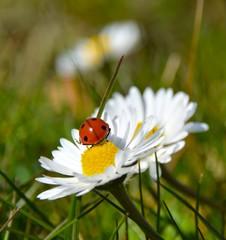 Viel Glück - Marienkäfer auf Gänseblümchen