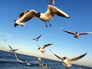 fliegende Möwen an der Ostsee