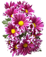 Bouquet of bright crimson chrysanthemums