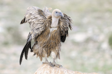 Griffon vulture shaking his feathers.