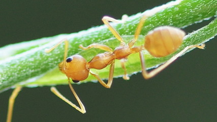 Super macro close up, red weaver ant working