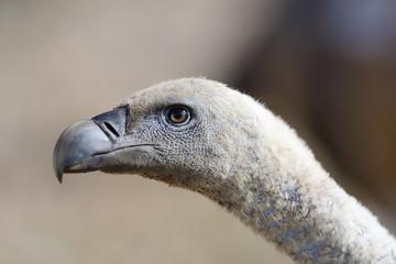 Griffon vulture portrait.