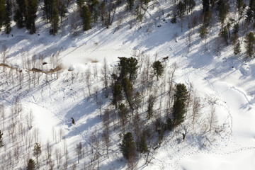 Elks standing in snow-covered forest, top view