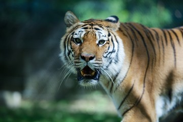 Amur tiger (Panthera tigris altaica) portrait