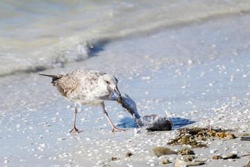 Seagull Feeding on a Dead Catfish