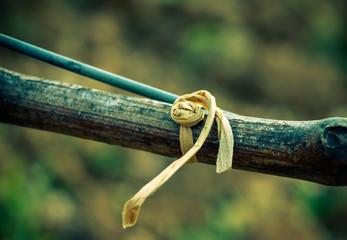 lien de vigne