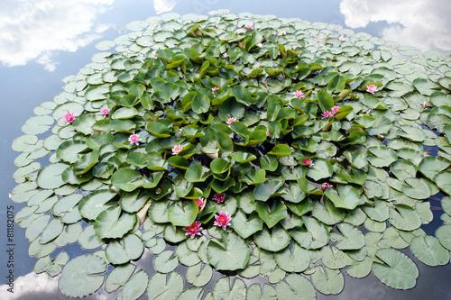 Aluminium Water planten Seerosen