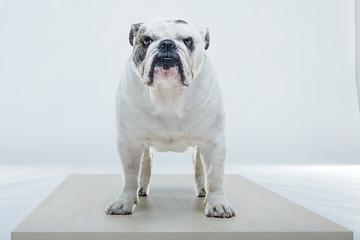 Bulldog in posa su piano in legno