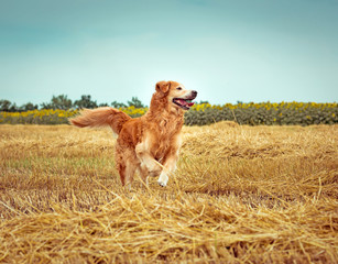 Golden Retriever in the straw