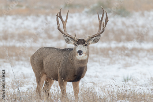 Papiers peints Cerf Mule Deer Buck in snow