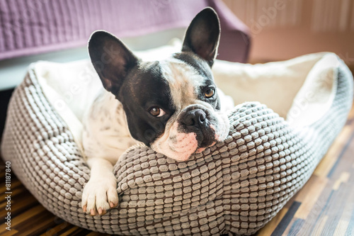 Adorable french bulldog on the lair - 81187840