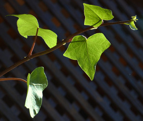 Branch of  hedera.