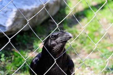 corvo in gabbia 3