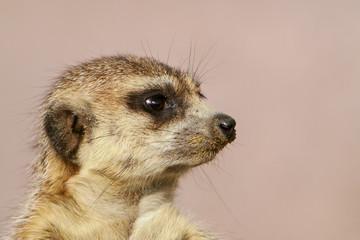 Portret van meerkat.